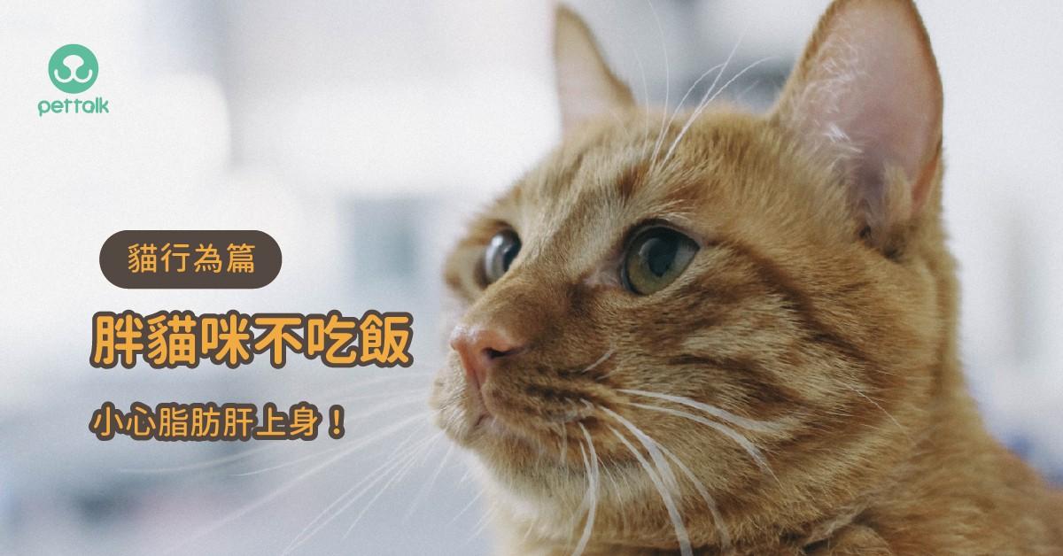 胖貓咪想減肥?不吃飯可能會引發脂肪肝問題|專業獸醫—張友珉