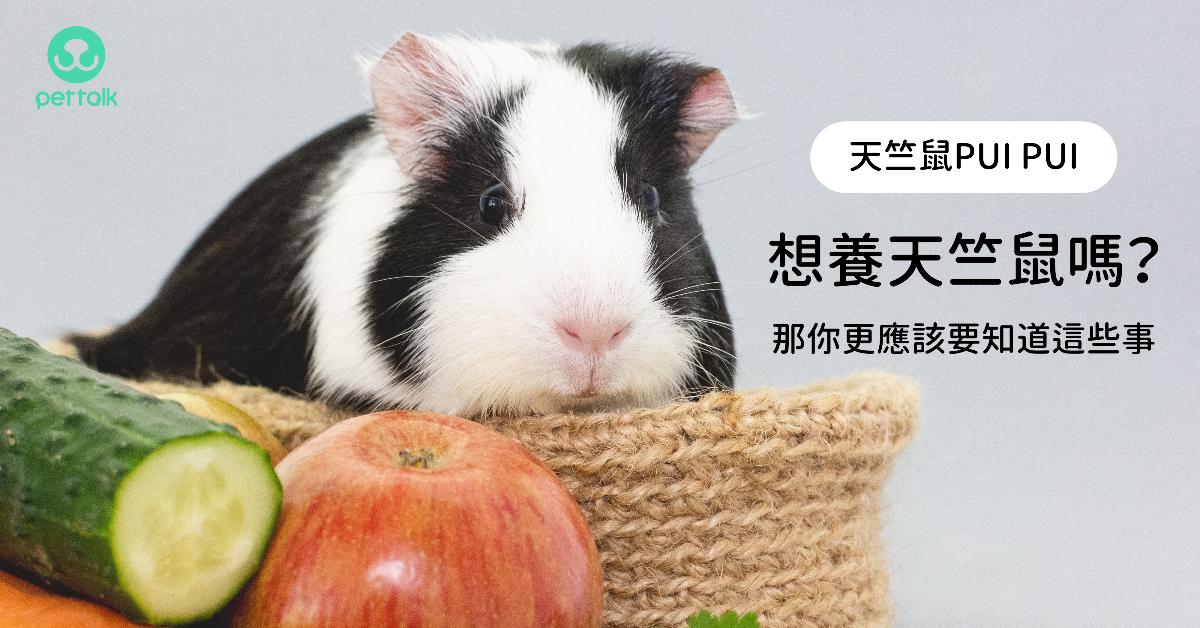 【天竺鼠PUIPUI】想養天竺鼠嗎?那你更應該要知道這些事|專業獸醫—侯彣