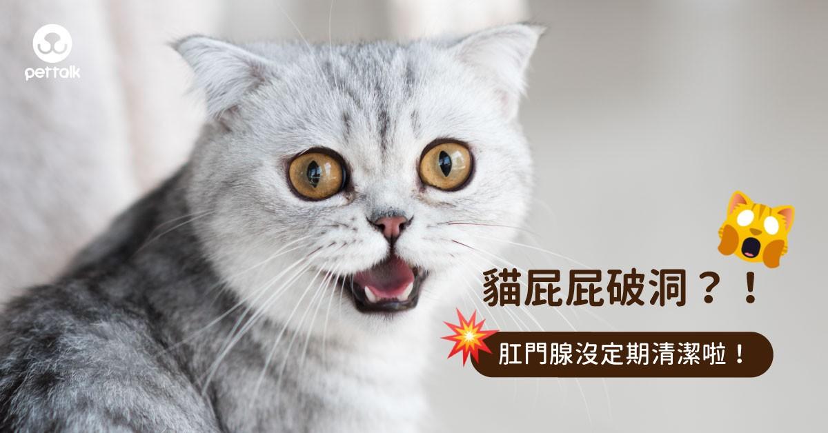貓咪屁股破一個洞?!貓咪為什麼會肛門腺破掉?|專業獸醫—王小玲