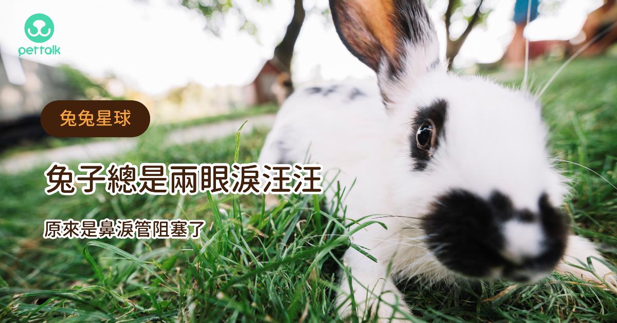 【兔兔星球】兔子總是兩眼淚汪汪,原來是鼻淚管阻塞了|專業獸醫—侯彣