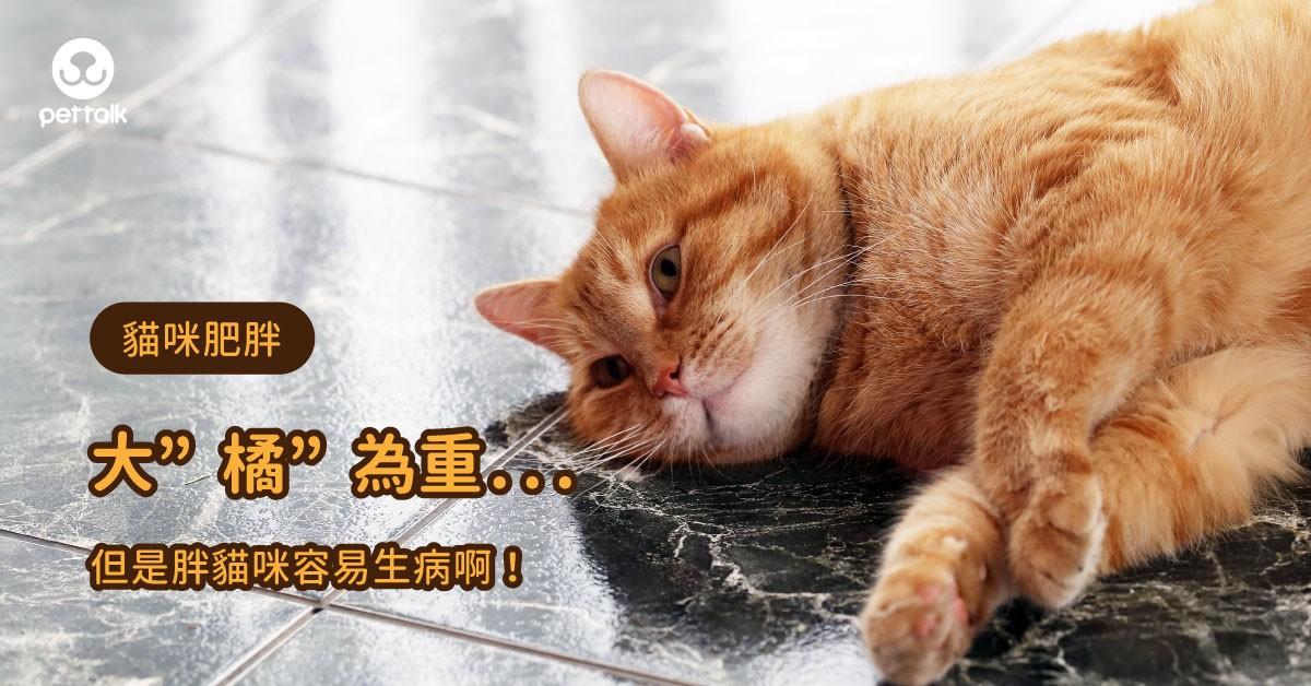 「十隻橘貓九隻肥,還有一隻特別肥」當心胖貓咪容易生病啊!|專業醫師—楊孝柏